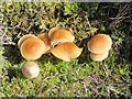 NY8128 : Fungi by the River Tees above Cauldron Snout by Mike Quinn