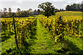 TQ1651 : Denbies Vineyard by Ian Capper
