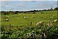 SU5928 : Sheep grazing on Cheriton Battlefield by David Martin