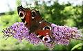 SX7764 : A Peacock Butterfly feeding on Buddleia by Tony Atkin