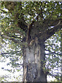 ST5966 : Gnarled oak on East Dundry Road by Neil Owen