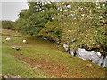 SE8499 : Sheep Grazing next to Eller Beck by David Dixon