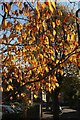 ST5874 : Cherry leaves, Limerick Road, Bristol by Derek Harper