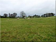 H5572 : Sheep, Bracky by Kenneth  Allen