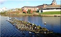 J3731 : Gulls on the Castle Park Weir by Eric Jones