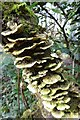 SW6443 : Bracket fungi by Philip Halling