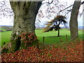 H5270 : Trees and leaves, Bancran : Week 46