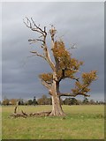 SO8844 : Partially dead oak tree by Philip Halling