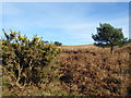 TQ4628 : Gorse and dead bracken on Ashdown Forest by Marathon