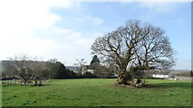 SJ9743 : Ancient tree above Dilhorne Church by Colin Park