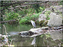 J3731 : Heron on a weir in the Shimna at Islands Park by Eric Jones