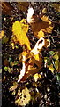 TM3667 : Autumn Leaves off Rendham Road by Adrian Cable