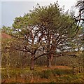 NH6762 : Scots Pine by valenta