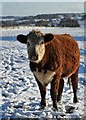 SK1366 : Young bullock by Hutmoor Butts track : Week 49