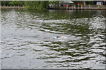 SU8485 : Openwater swimmer, River Thames by N Chadwick