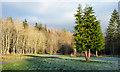 NZ0730 : Conifer beside road near Middle Redford by Trevor Littlewood