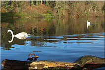 NS2209 : Swans at Culzean Country Park by Billy McCrorie