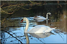 NS2209 : Swans at Culzean by Billy McCrorie