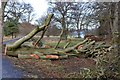 NT5034 : Felled beech tree, Abbotsford grounds by Jim Barton