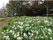 SE5158 : Beningbrough Hall, daffodils and jonquils by Stephen Craven