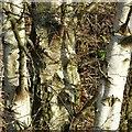 SK6143 : Silver birch bark by Alan Murray-Rust