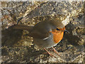 SD4376 : A robin at Park Point : Week 1