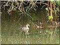SK4834 : Dabchick, Erewash Canal by Alan Murray-Rust
