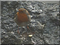 SD4376 : A robin at Park Point (2) by Karl and Ali