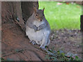 SY1287 : A plump squirrel, Sidmouth by Chris Allen