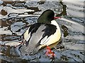 NY4053 : A male goosander by Rose and Trev Clough