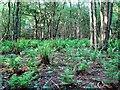 TQ7820 : Fern understory in Greenden Wood, Brede High Woods by Patrick Roper