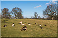 TQ5354 : Deer in Knole Park by Ian Capper