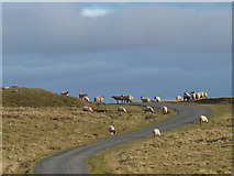 SD8965 : Sheep in the road by Stephen Craven