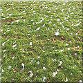 SP2965 : Thawing snow on grass, riverside open space, Warwick by Robin Stott