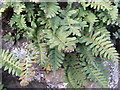 NT5880 : Common Polypody at Bankhead by M J Richardson