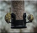 TQ2995 : Siskins on Bird Feeder in London N14 by Christine Matthews