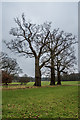 TG1729 : Line of oaks by Ian Capper
