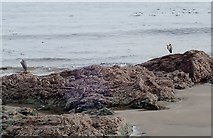 J3730 : Herons on the rocky beach south of The Rock Pool, Newcastle by Eric Jones