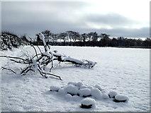 H5173 : Fallen tree in snow, Killycurragh by Kenneth  Allen