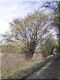 TQ2156 : Old coppiced hazel-tree by Ebbisham Lane by Stefan Czapski