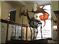 TL4558 : Giant Deer skeleton at The Sedgwick Museum by M J Richardson