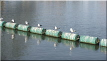 TL0549 : Black-headed Gulls on the River Ouse by M J Richardson