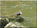 SK1454 : A Dipper by the Dove by Malcolm Neal