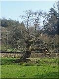 SX1061 : Gnarled old oak tree, Restormel by Rob Farrow