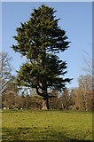 SO6854 : Tree in Brockhampton Park by Philip Halling