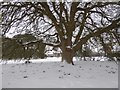 SX9291 : Drifted snow on a tree at County Hall, Exeter by David Smith