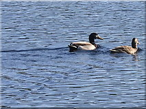 SN6862 : Ducks on a peat digging pond, Cors Caron by Rudi Winter