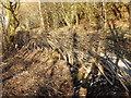 SN6962 : Freshly laid hedge, Maes-llyn by Rudi Winter