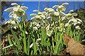 NJ3560 : Snowdrops (Galanthus nivalis) by Anne Burgess