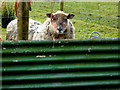 H3768 : Curious sheep, Aghadulla (Harper) by Kenneth  Allen
